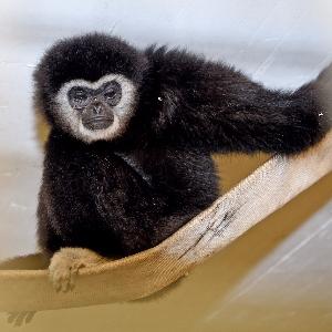 Humanmediziner unterstützen Augenoperation an Gibbon